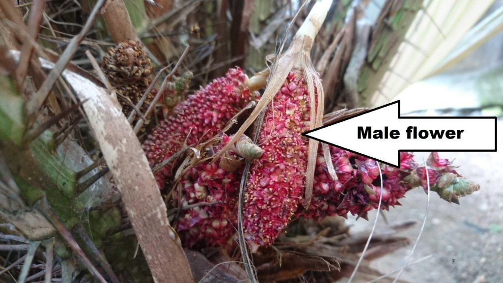 Male snake fruit flower