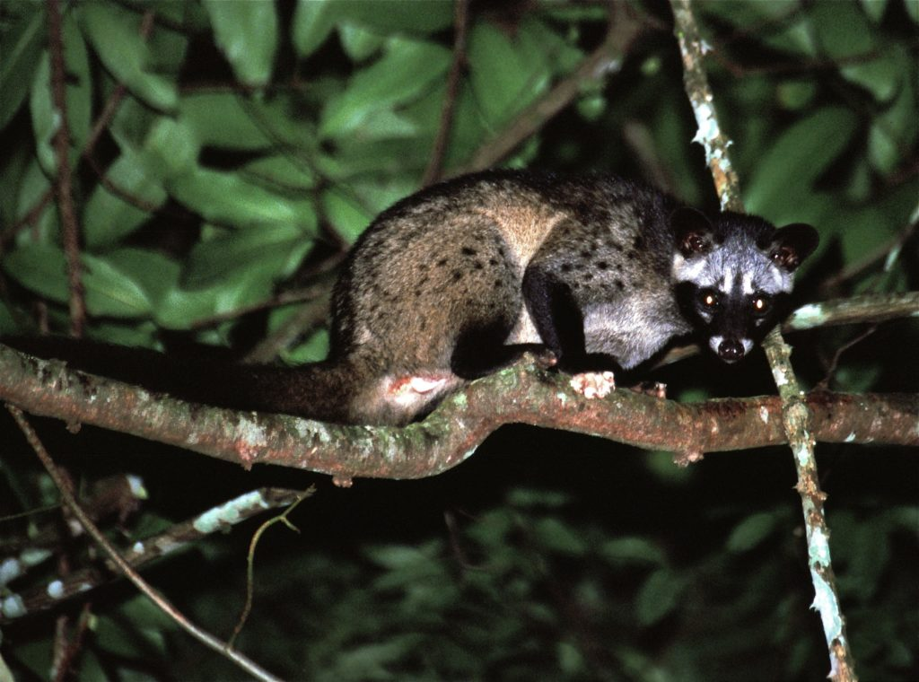 Asian Palm Civet is a snake fruit pests
