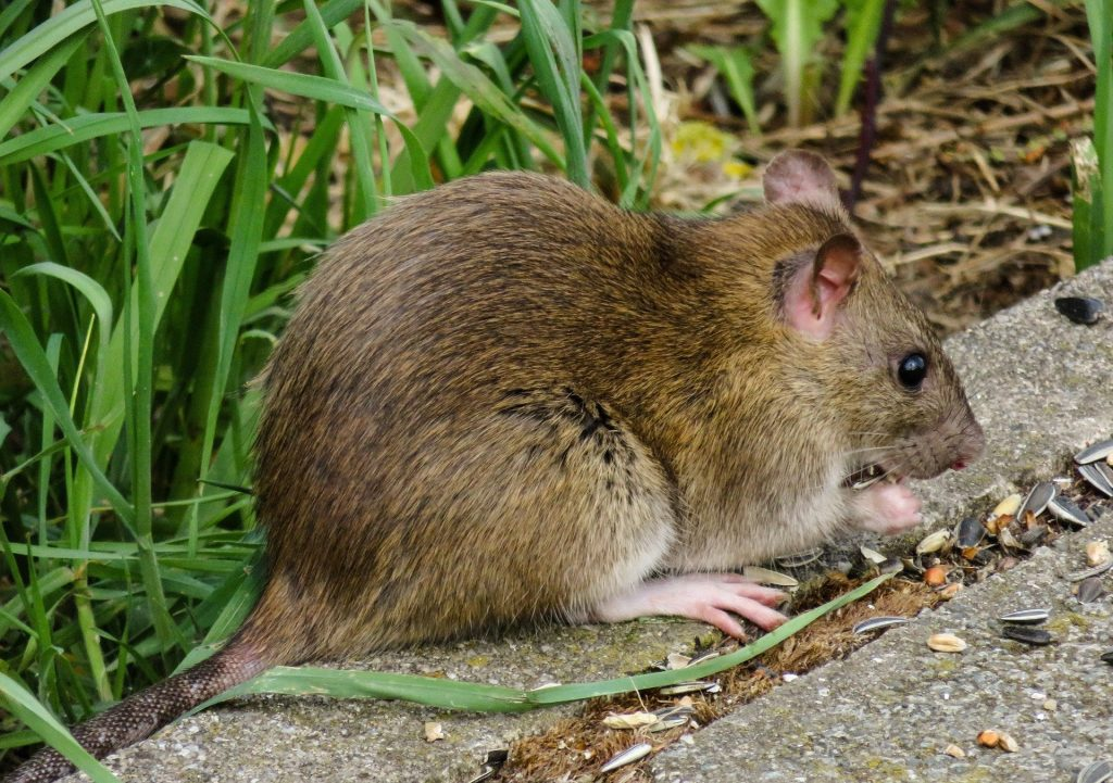 Pests control of rat in palm tree